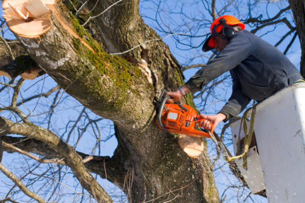 A Tree Surgeon trims trees using a chain saw and a bucket truck